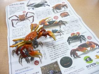 カプセルミュージアム 日本のカニ百科 アカテガニ